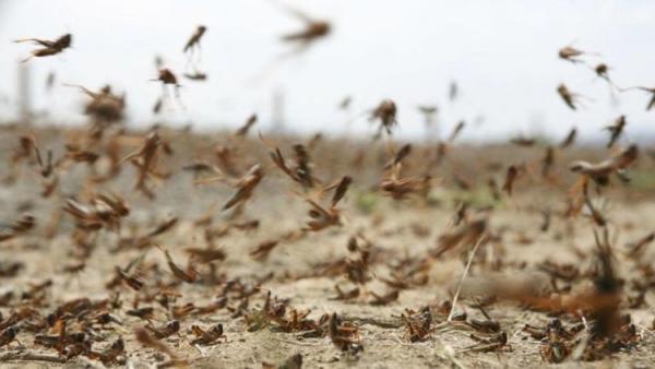 هجوم گسترده ملخ های صحرایی به کشور از حدود 10 روز آینده