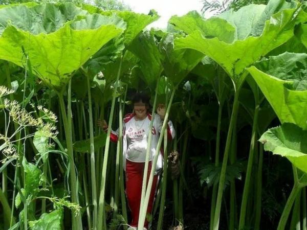 دانشمندان هنوز نتوانسته اند دلیل رشد غیرعادی گیاهان در جزیره ساخالین روسیه را پیدا نمایند